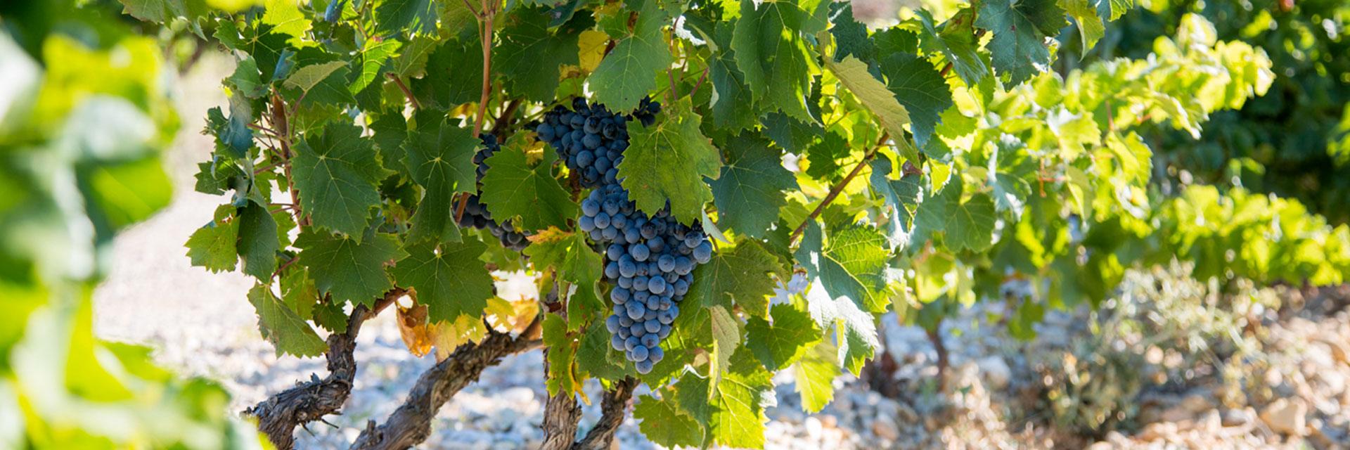 colombes des vignes cave des vignerons r unis sainte c cile les vignes. Black Bedroom Furniture Sets. Home Design Ideas